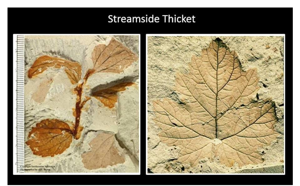 Pictures streamside thicket plant fossils