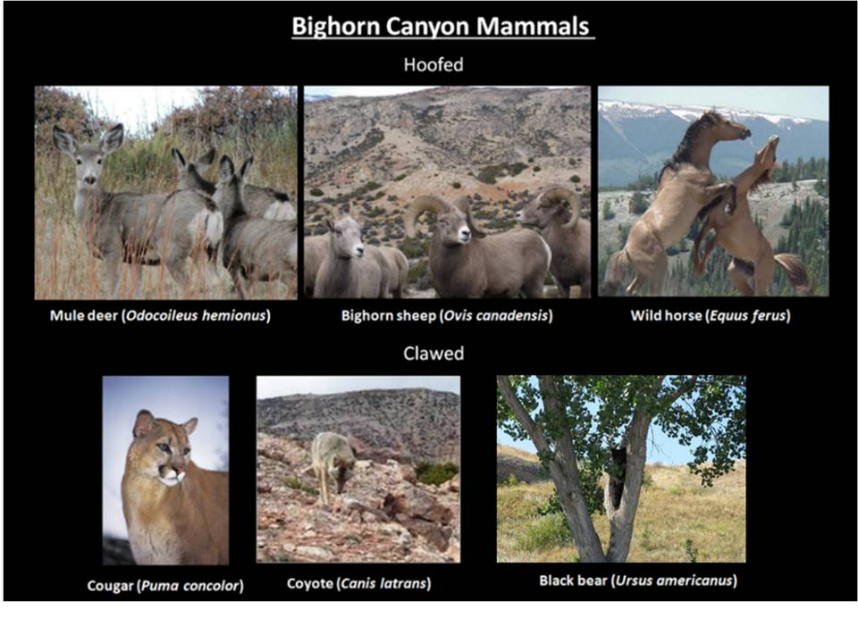 Picture Bighorn Canyon mammals, Bighorn Canyon National Recreation Area