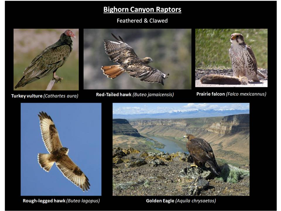 Picture Bighorn Canyon raptors, Bighorn Canyon National Recreation Area