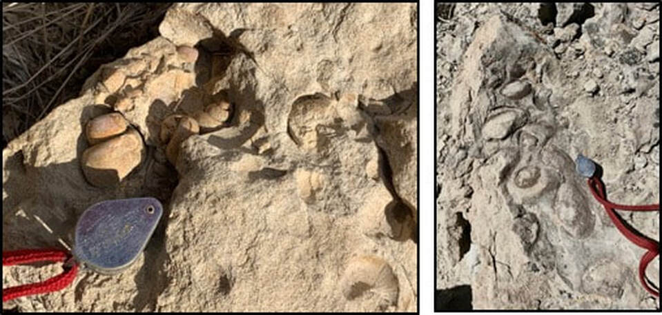 Pictures of fossil gastropods and pelecypods in Eocene Tatman Formation, Squaw Peaks, Wyoming